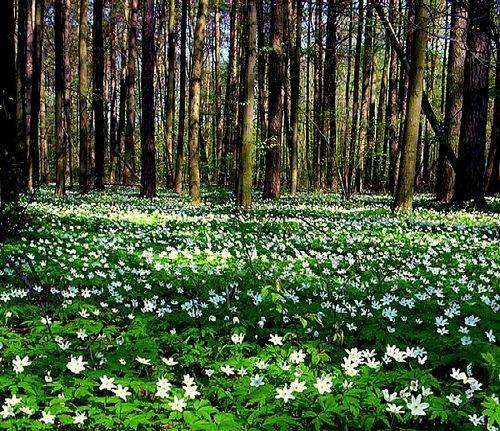 Sweden spring flowers
