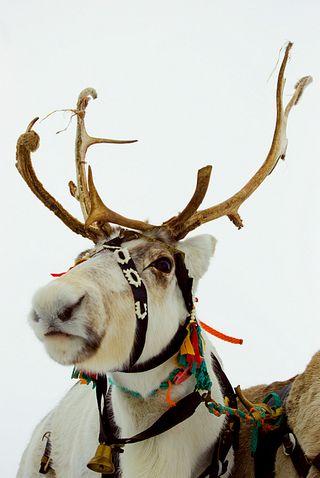 Christmas reindeer 2
